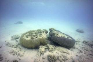 Porites spp. bommies flipped by cyclone