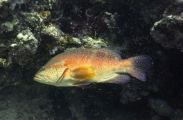 Coral trout at cleaning station