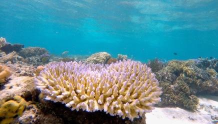 Corymbose coral
